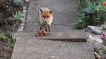 Urban  fox feeding in garden - HD video